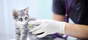 kitten receiving medical care